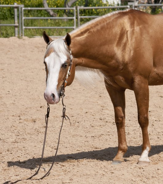infinity-little-step-aqha-palomino-stallion