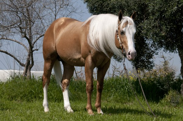 infinity-little-step-palomino-stallion-pic