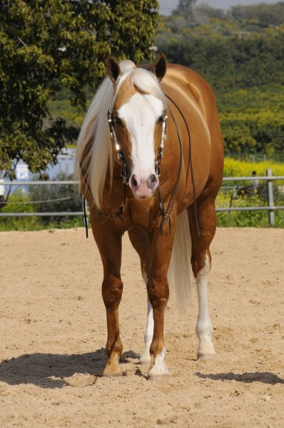 infinity-little-step-palomino-stud