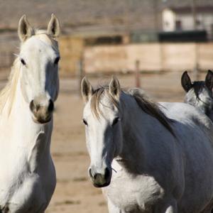 Horses PigeonFeverFeature